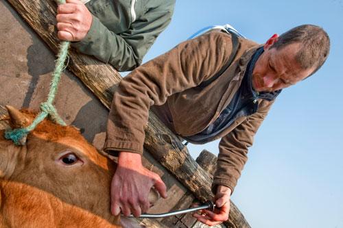 traitement vaches